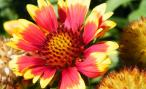 Blanket Flower Gaillardia which grow in dry and harsh conditions