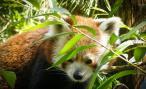 Red Panda Madness
