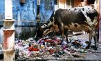 A cow mulching on trash